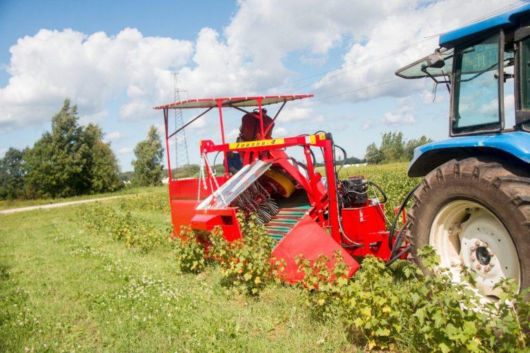 Kuigi Eestis on põllumajandusega seotud umbes kolm protsenti tööjõust, on põllumajandus muutunud intensiivsemaks. Pildil musta sõstra koristamine.